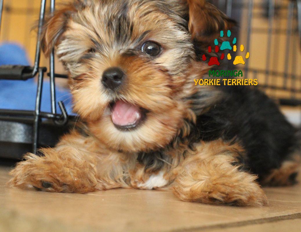 Happy Yorkie Terriers Moringa Yorkie Teacups Yorkshire Terriers In Southern California Yorkies In San Be Yorkie Puppy For Sale Yorkie Puppy Yorkie Breeders