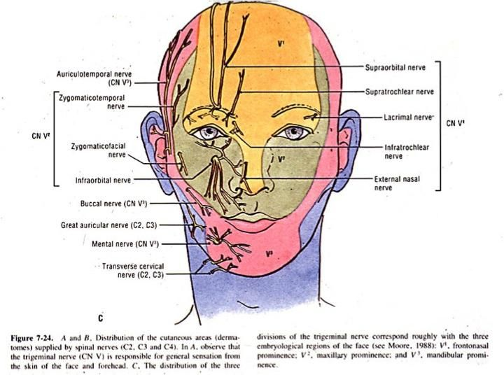 C1 Dermatome Google Search Cranial Nerves And Dermatomes