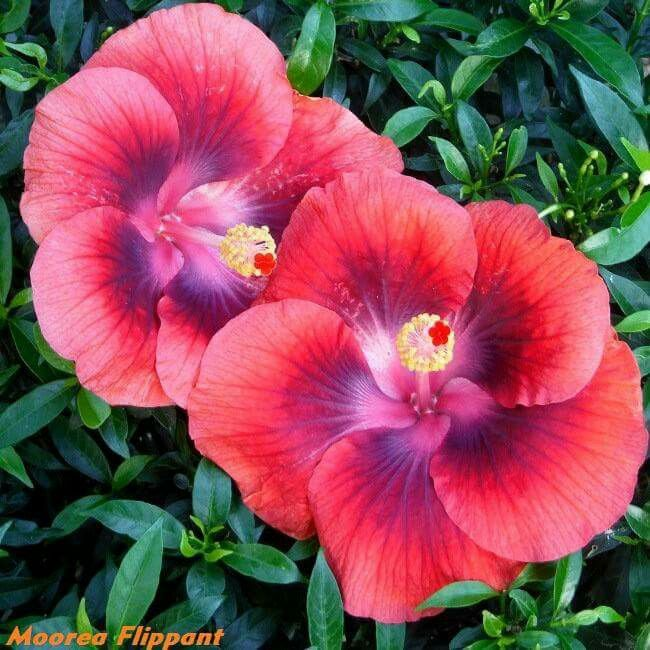 Hibiscus. Charles A.
