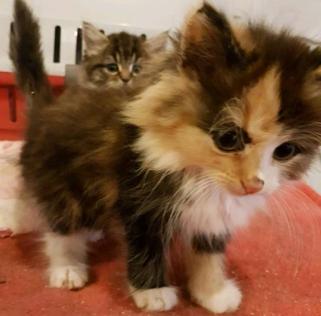 Stunning Longhaired Tortoiseshell Female Kitten Ready To Leave For Her 5 Star Home Now She Is 8 We Kittens Cats For Sale Cats And Kittens
