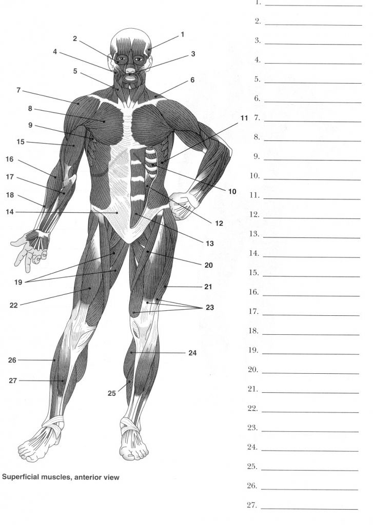 image relating to Printable Anatomy Labeling Worksheets named Human Anatomy Labeling Worksheets Muscle mass Diagram Label Blank