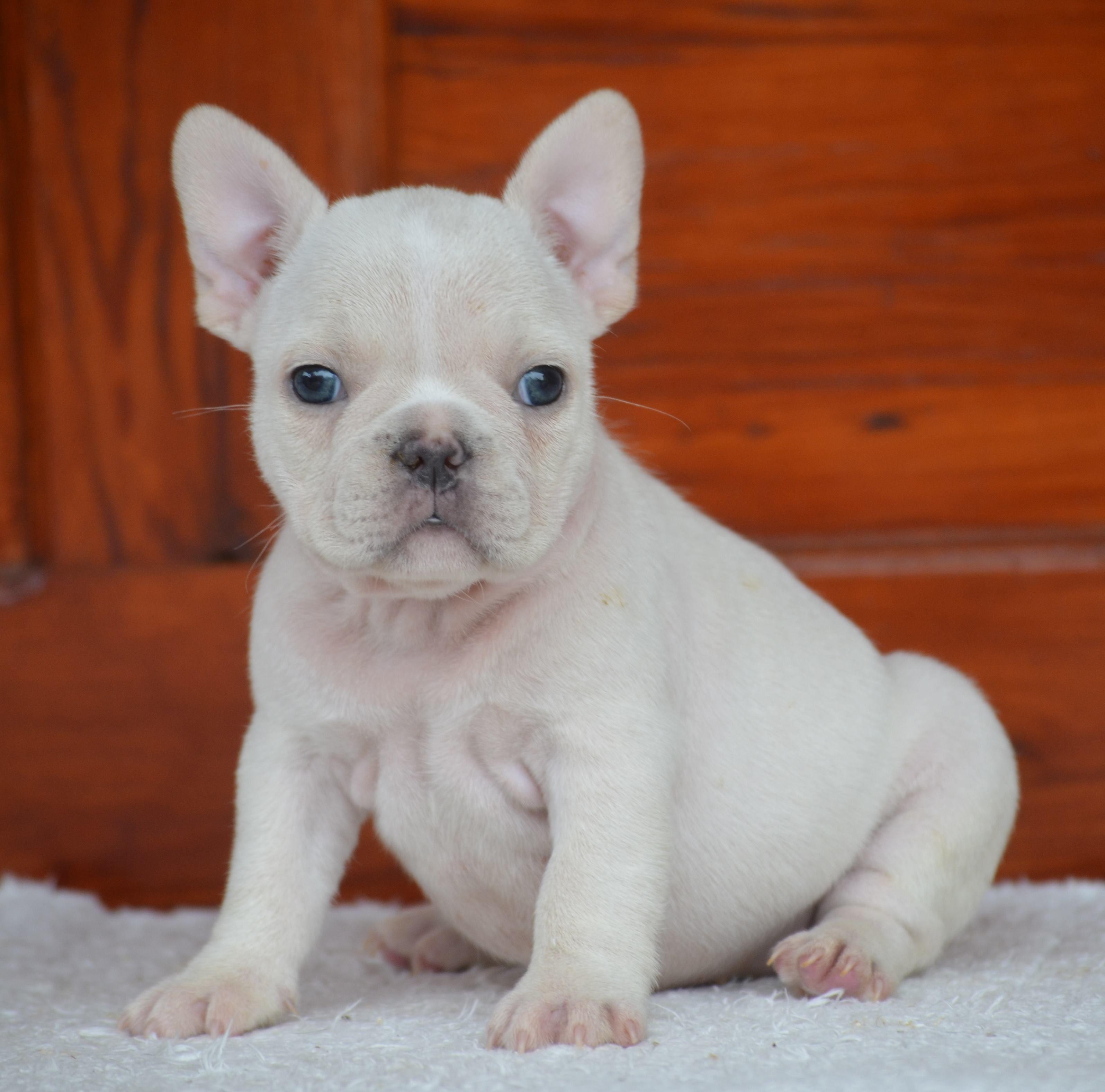 Idea By Nilam On Neeya Likes Bulldog Puppies French Bulldog