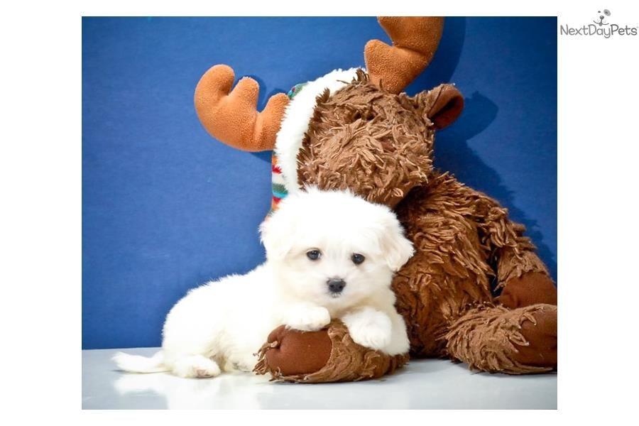 Maltese Puppy For Sale Near Columbus Ohio 83222551 9b61