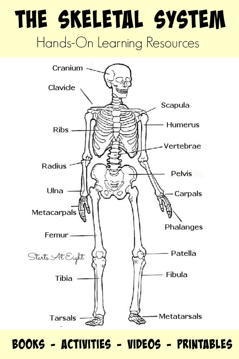 the skeletal system hands on learning resources from starts at eight this is list of hands on skeletal system activities books videos and printables  [ 800 x 1200 Pixel ]
