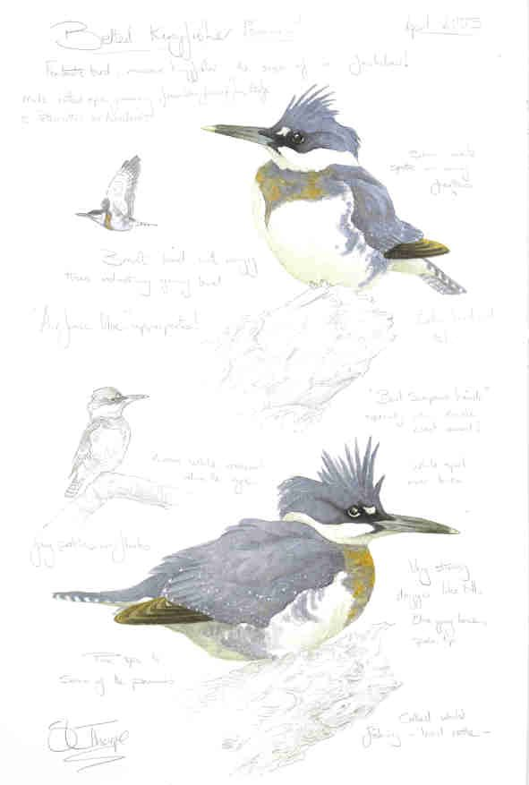 Steph' Thorpe. Bird Artist and Illustrator   Artwork of bird species from the…