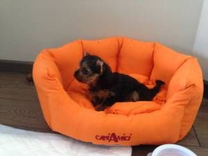Tips On How To Train A Yorkshire Terrier To Pee And Poo Outside And