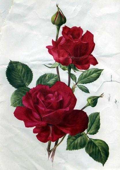 Rose Flowers Vintage Rose Image Collection Rose Illustration