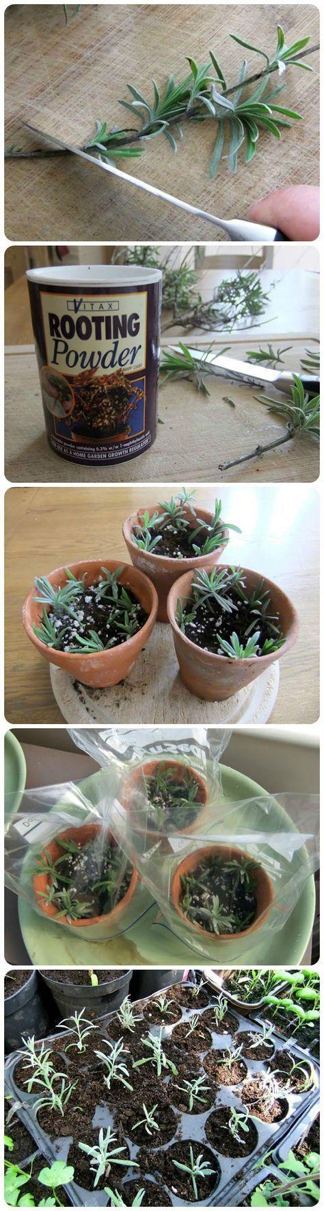 Aprende a propagar la lavanda lavanda plantas y jardiner a - Lavanda cuidados maceta ...