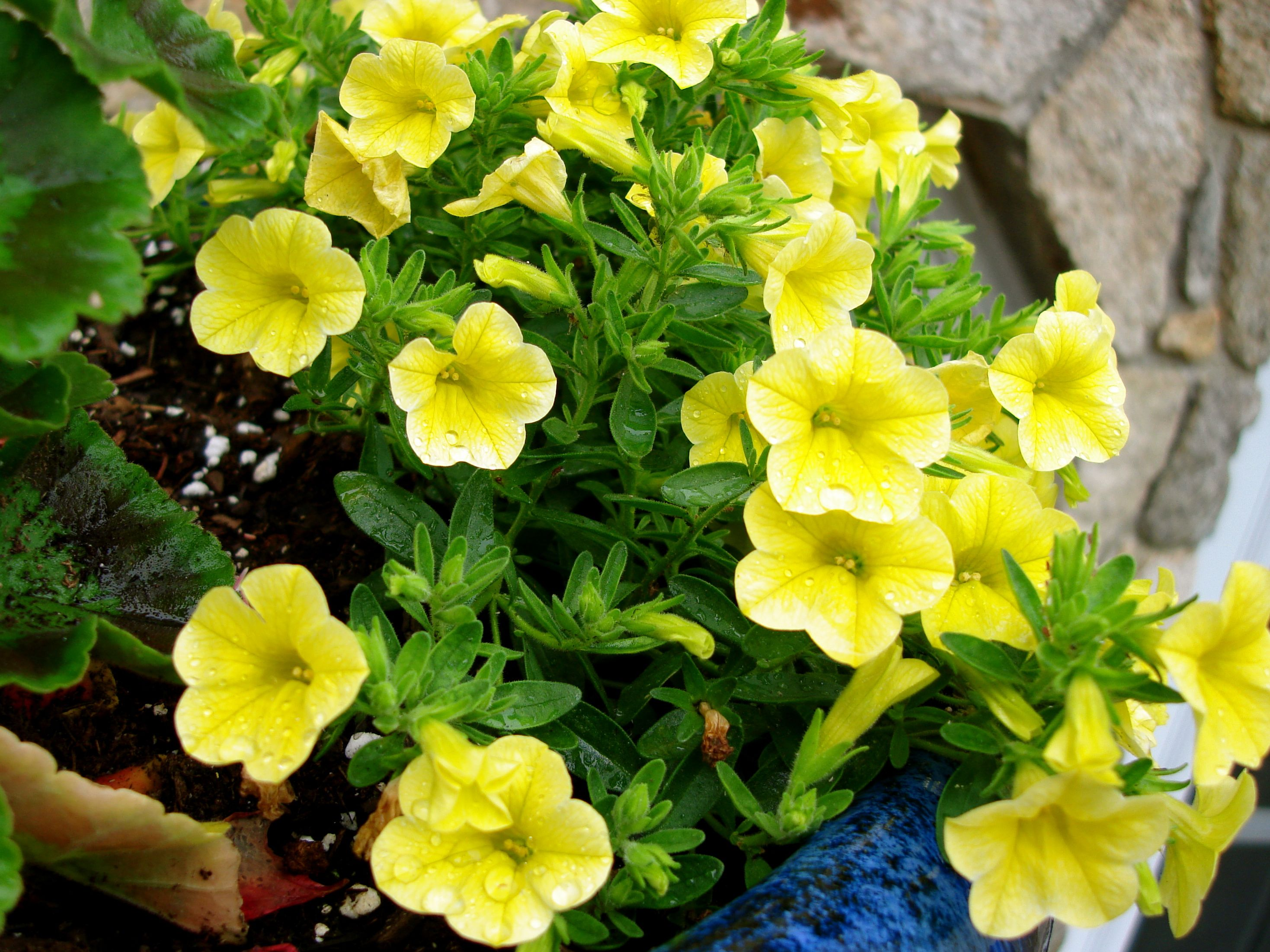 Yellow Wave Petunia S Petunias Beautiful Flowers Garden