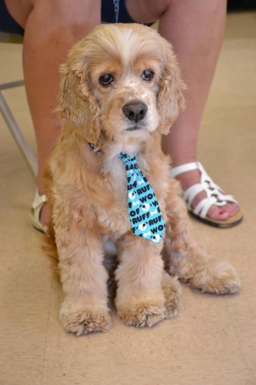 Adopt Biscuit On Cocker Spaniel Dogs Cocker Spaniel Dog