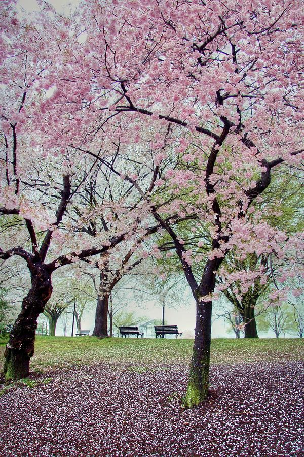 Blossom Cherry Blossom Flora Pink And Brown Pink And Brown Cherry Blossom Tree During Nighttime The W Cherry Blossom Tree Blossom Trees Cherry Blossom