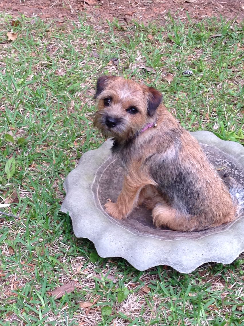 I Love Border Terriers Border Terrier Border Terrier Puppy