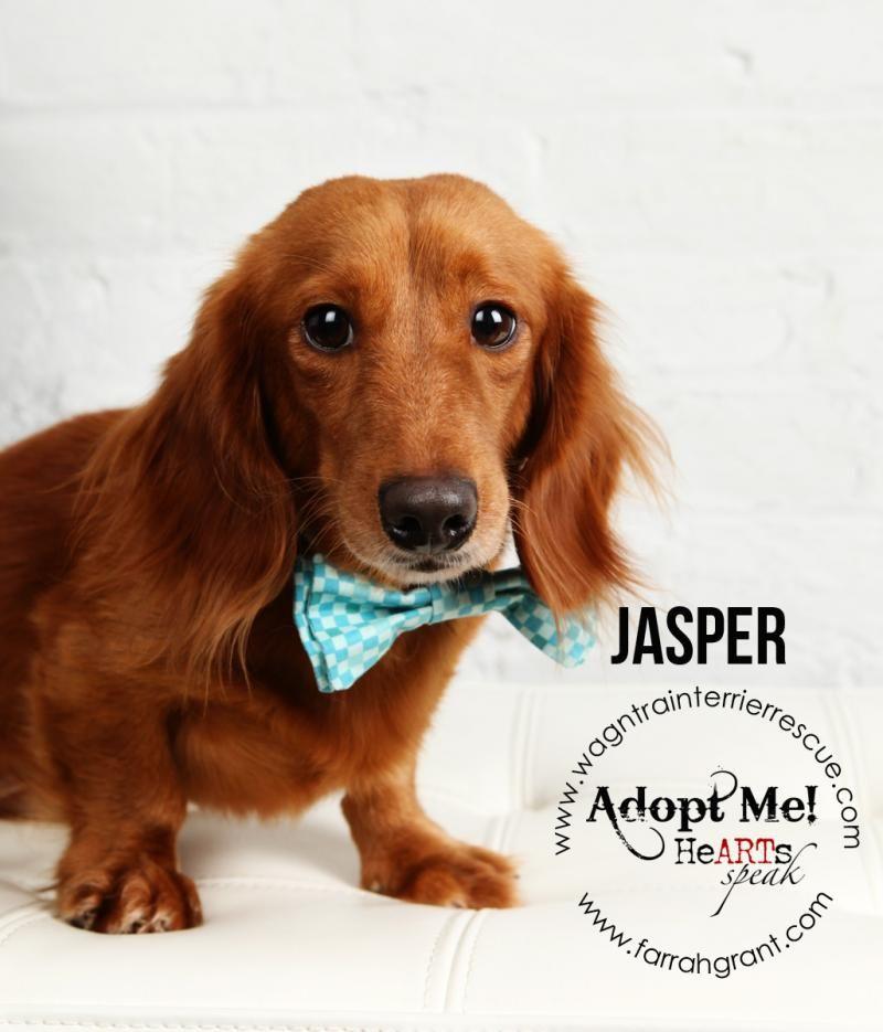 Adopt Sir Jasper On Adoptable Dachshund Dog Long Haired