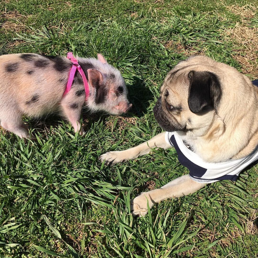 Pig And Pug Doug Pugs Cute Animals