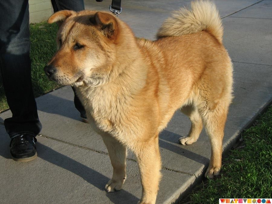 Chow Lab Mix I Use To Have One And He Was The Sweetest Dog Animales