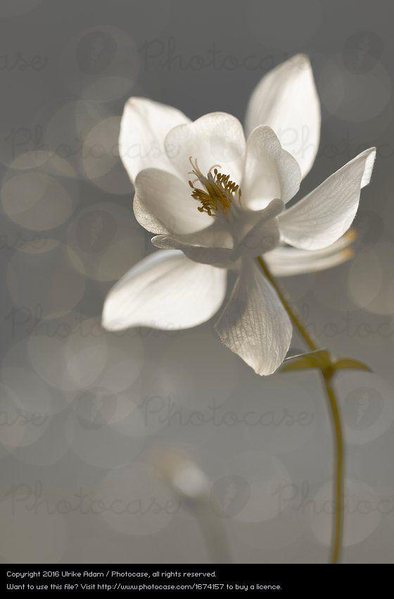 Foto \'Weiße Akelei (Aquilegia)\' von \'Ulrike Adam\' | Blumen ...
