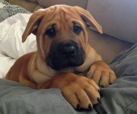 Pudge the Chow Chow Mix-Incredibley Adorable!   Beagle Dogs