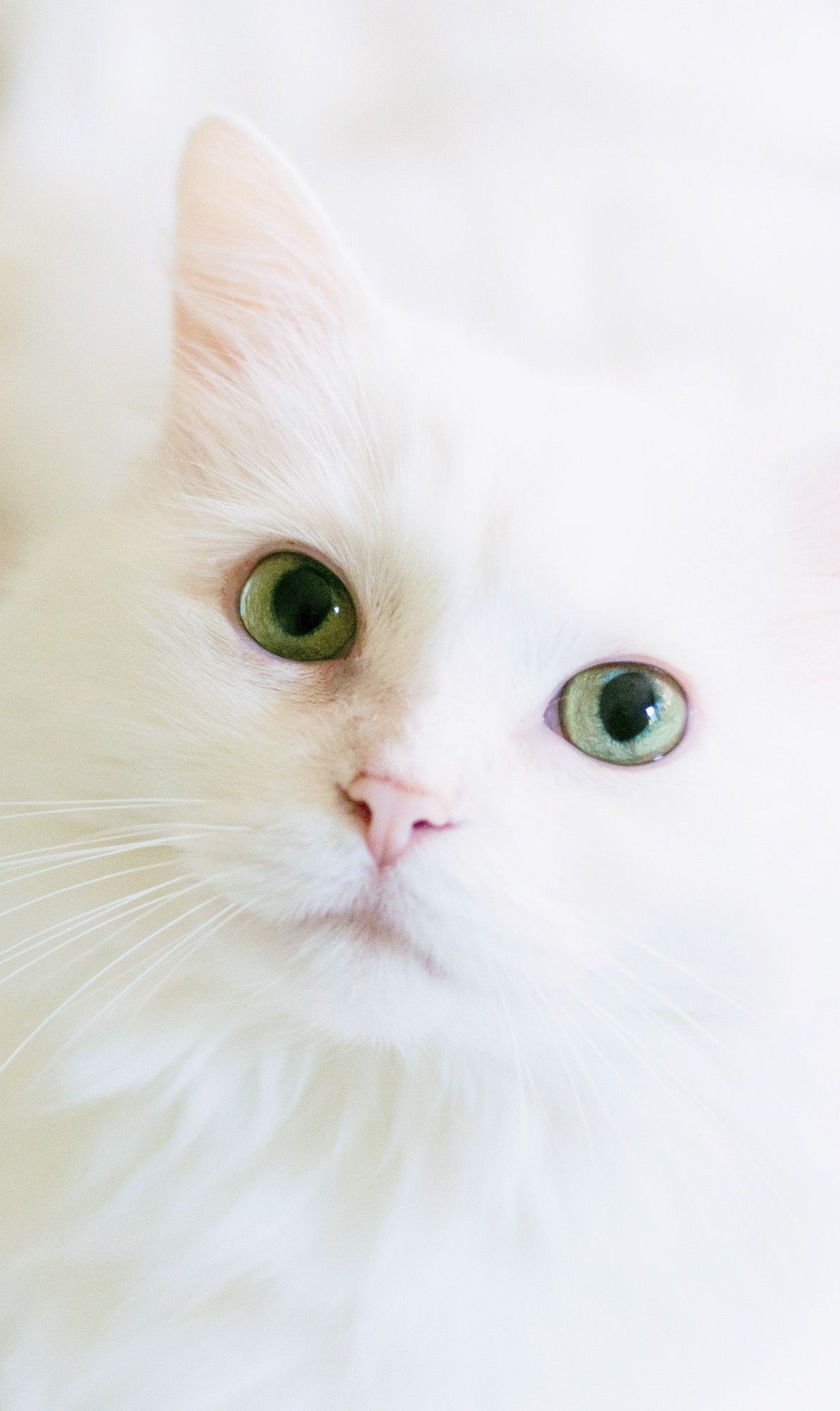 Cute White Cat Wallpaper For Phone