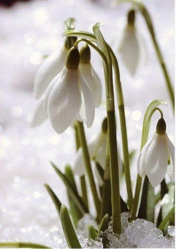 Out With The Snow In With The Snowdrops Garden Calendar Winter Garden Primroses