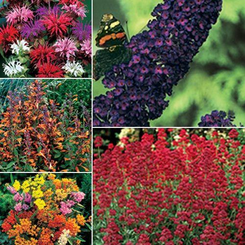 Azure snow salvia garden ideas hummingbird garden - Butterfly and hummingbird garden designs ...