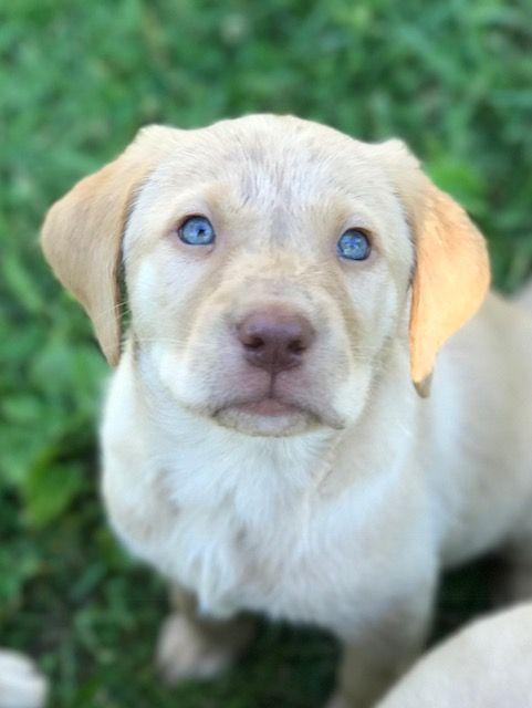 Litter of 6 Labrador Retriever puppies for sale in OSKALOOSA