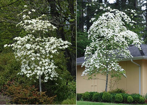 Multnomah Falls Plant Of The Day 3 Eddies White Wonder Dogwood Kahoots Design Llc Fall Plants Landscaping Plants Plants