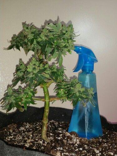 Cannabis bonsai bonsai pinterest plantation plantes for Plantation interieur cannabis
