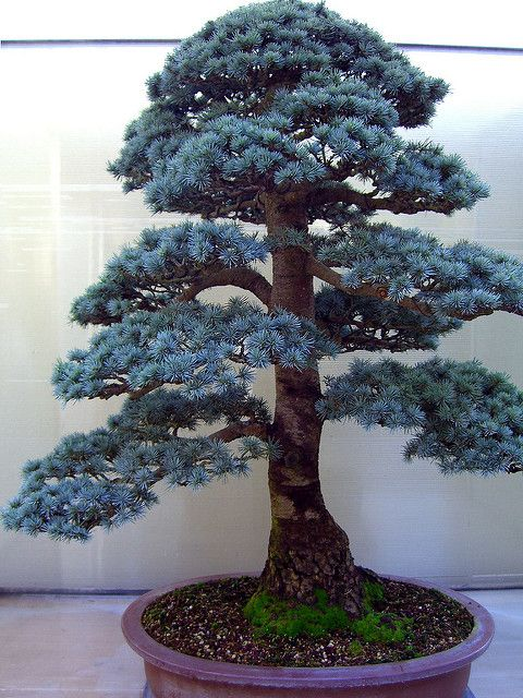 Blue Atlas Cedar Bonsai Bonsai Tree Types Bonsai Tree Bonsai