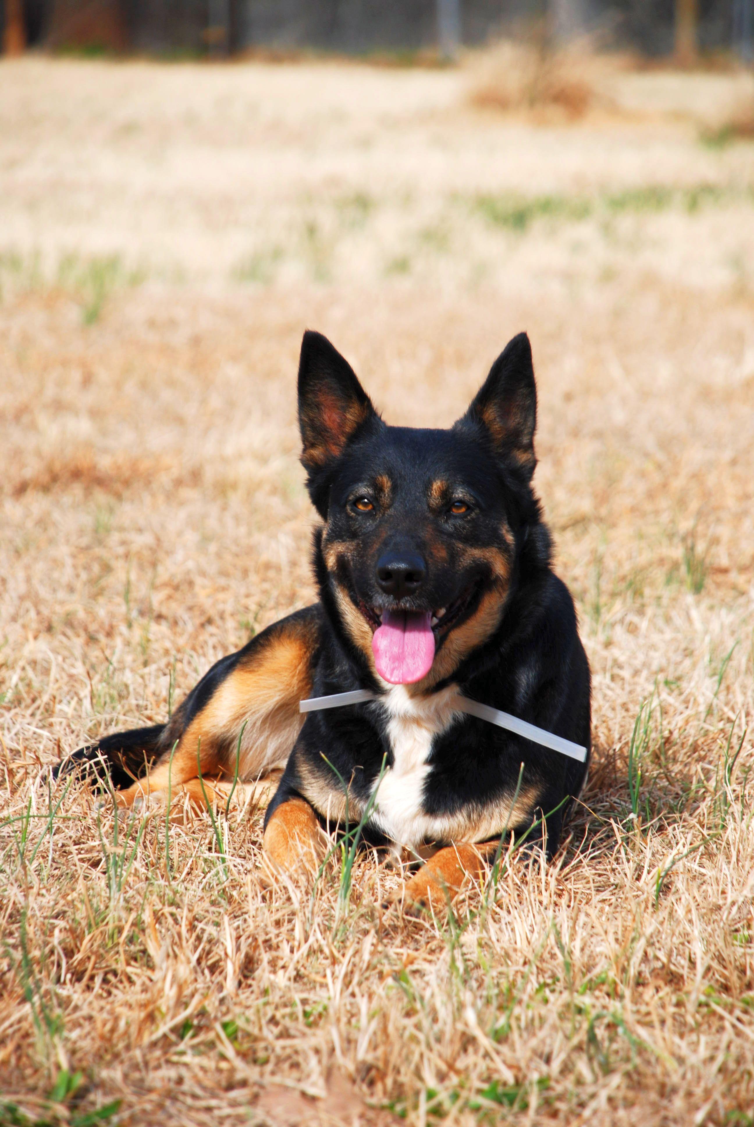 German Shepherd Cattle Dog Mix Dogs Pet Care Dogs