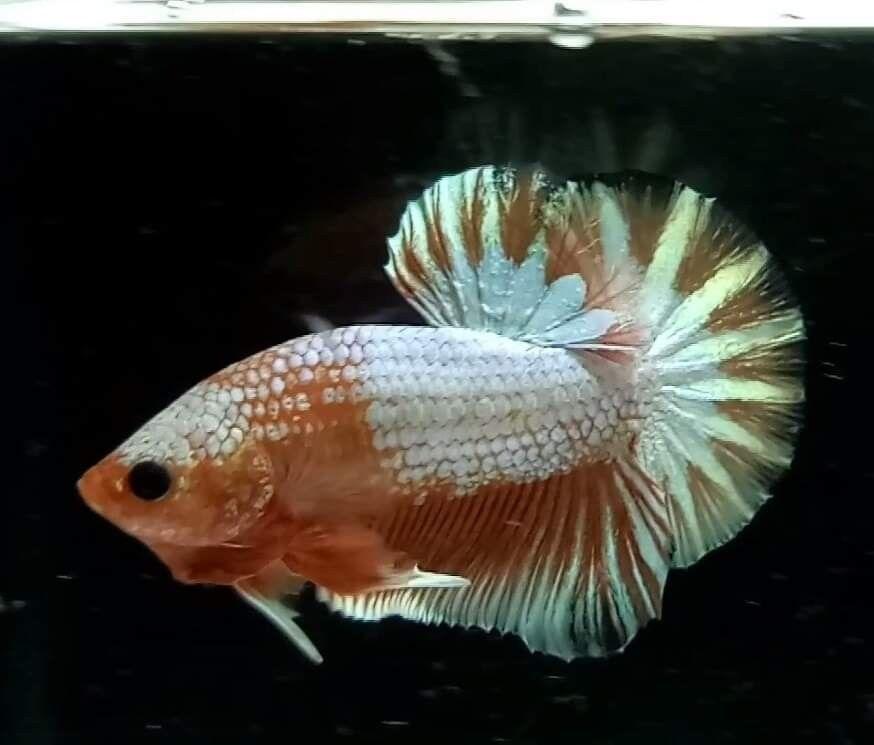 Betta Fish Philippine Price