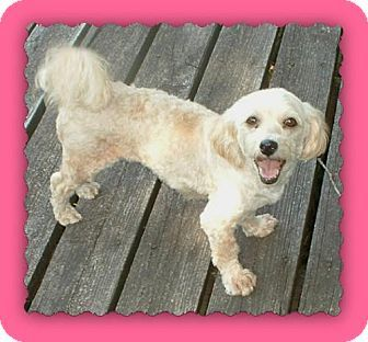 Opal Is A 3 4 Year Old Havanese A Retired Breeder She Is