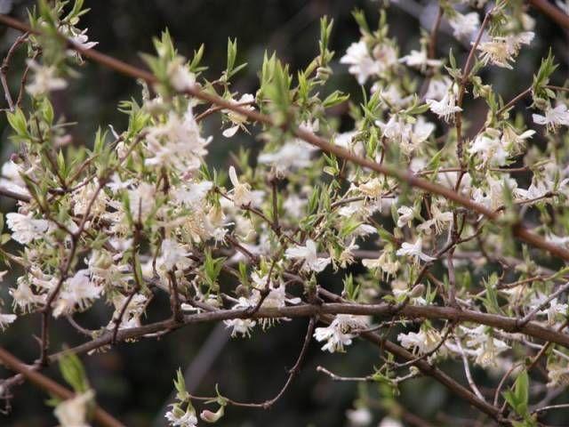 lonicera purpusii 39 winter beauty 39 is a shrubby honeysuckle. Black Bedroom Furniture Sets. Home Design Ideas