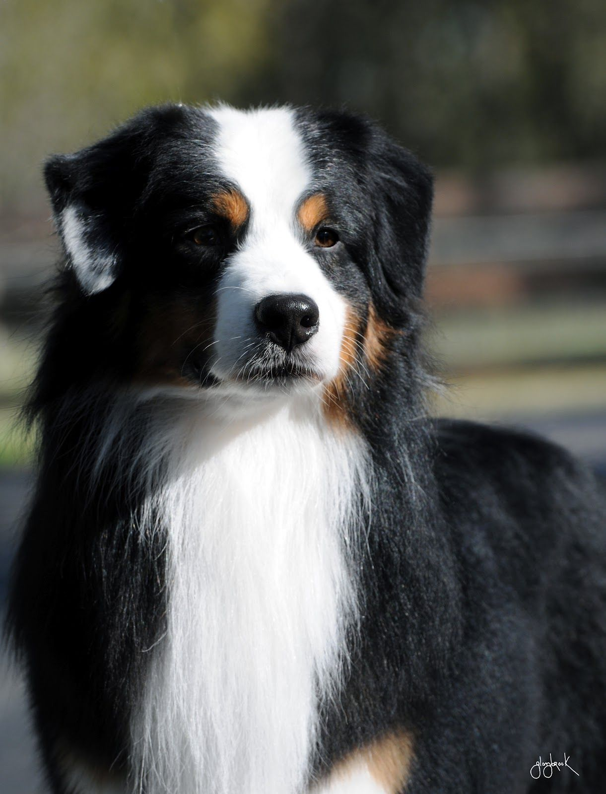 Australian Shepherd Dog Pastor Australiano Animales Perros