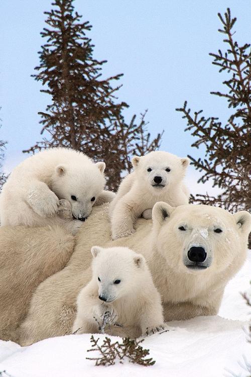 Family Photo Thomas Kokta Via Living Pursuit Cute Animals Baby Polar Bears Animals