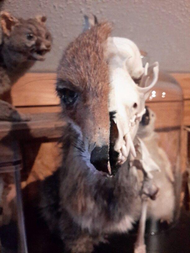 Dual taxidermy fox