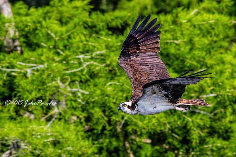 The flight of the Osprey