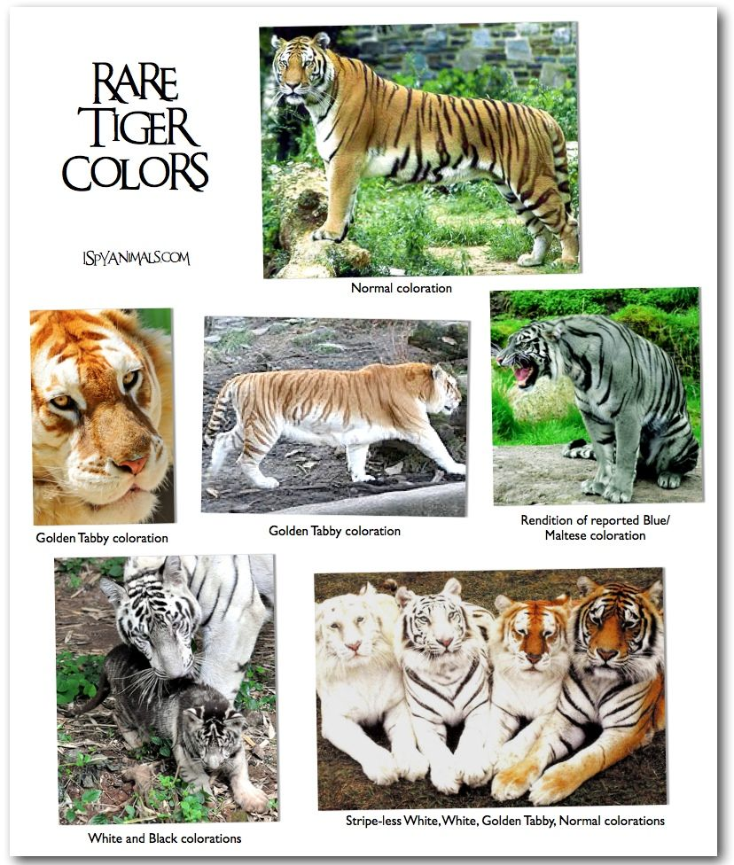Rare Tiger Colors | Animals, Types of tigers, Animal pictures