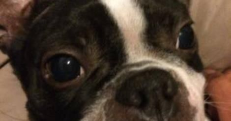 Reward Email Or Call 203 898 5973 Lost Boston Terrier Stamford My