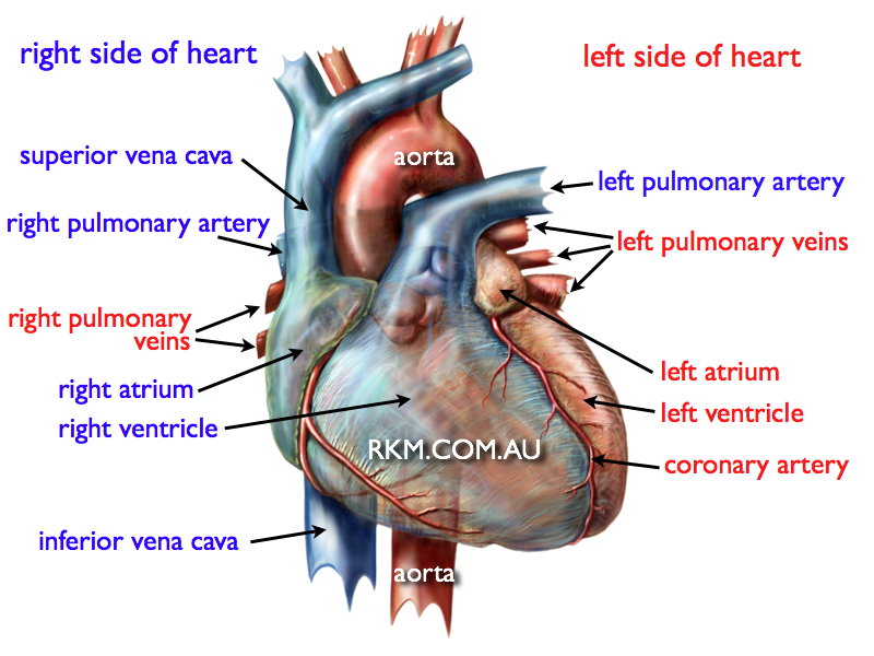 Pin by Lisa Gelpi on Science & Nature | Pinterest | Human heart ...