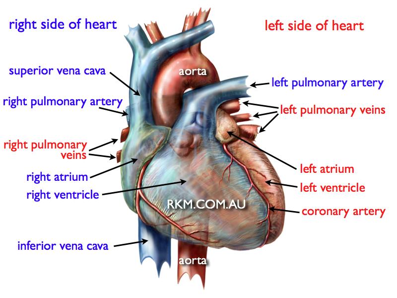 heart anatomy diagram | Human Heart Diagram | study stuff ...