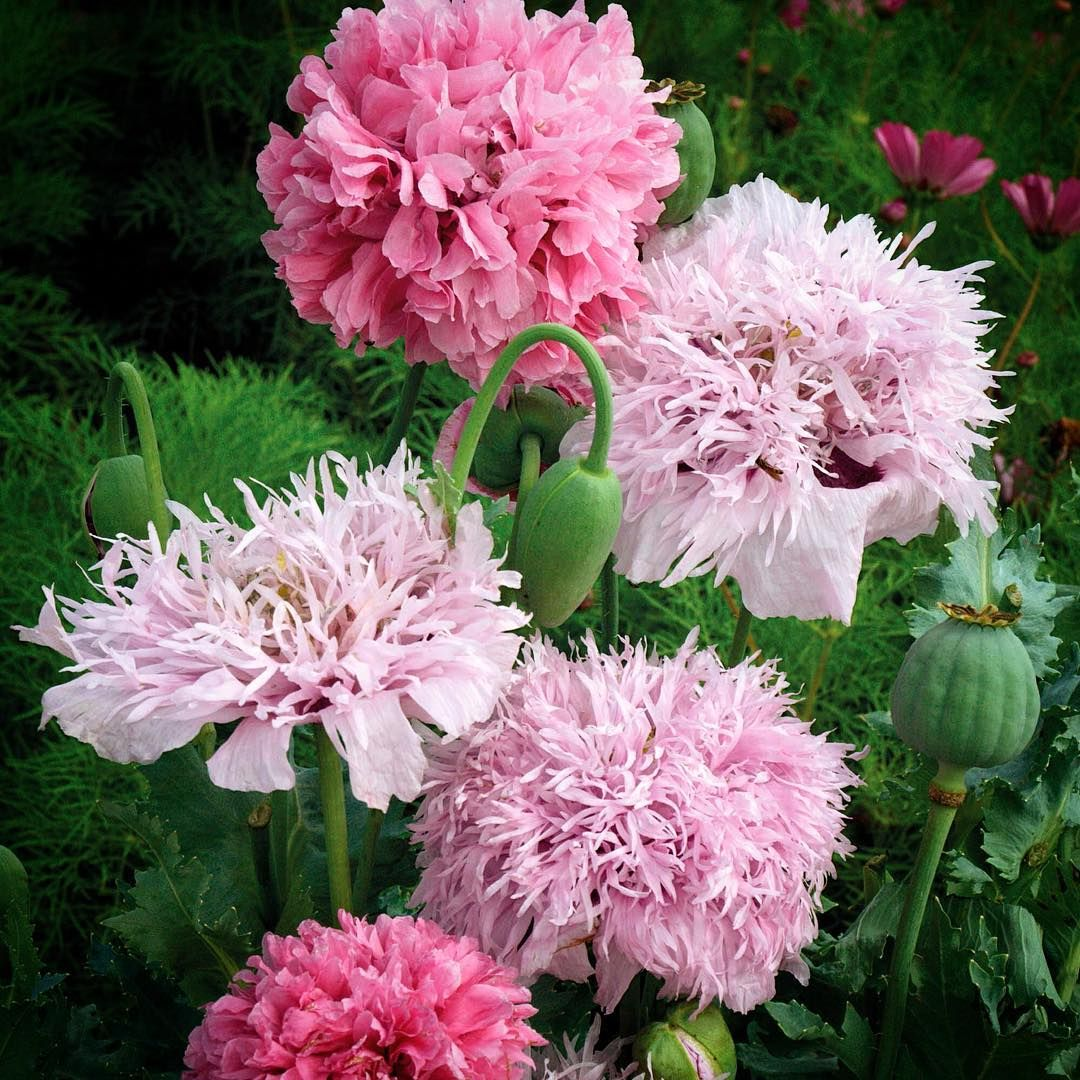 Pom Pom Poppies Paper Botany Paperbotanycreations On Instagram