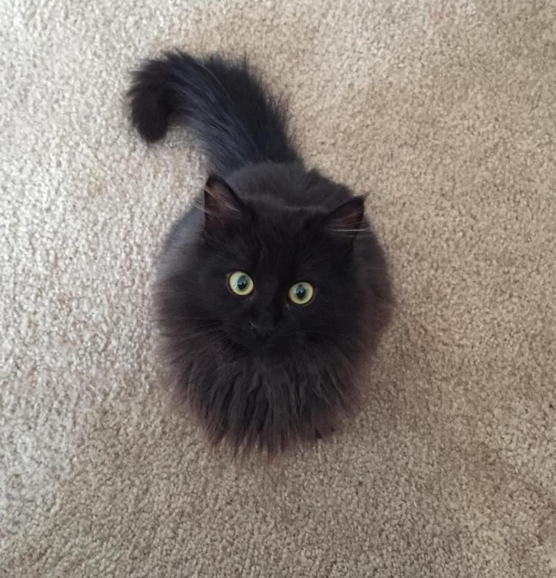 Adopt Toothless on Fur babies Cats, Cute cats, Kittens