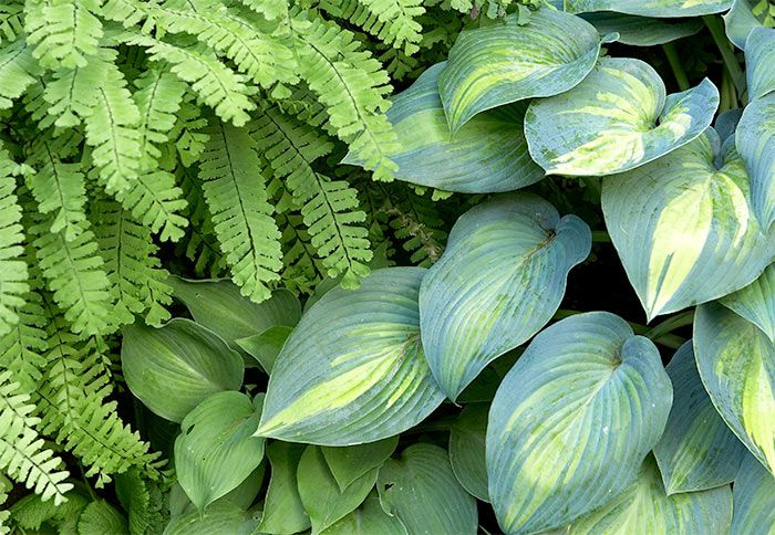 Companion Planting With Ferns Hostas Google Search In My