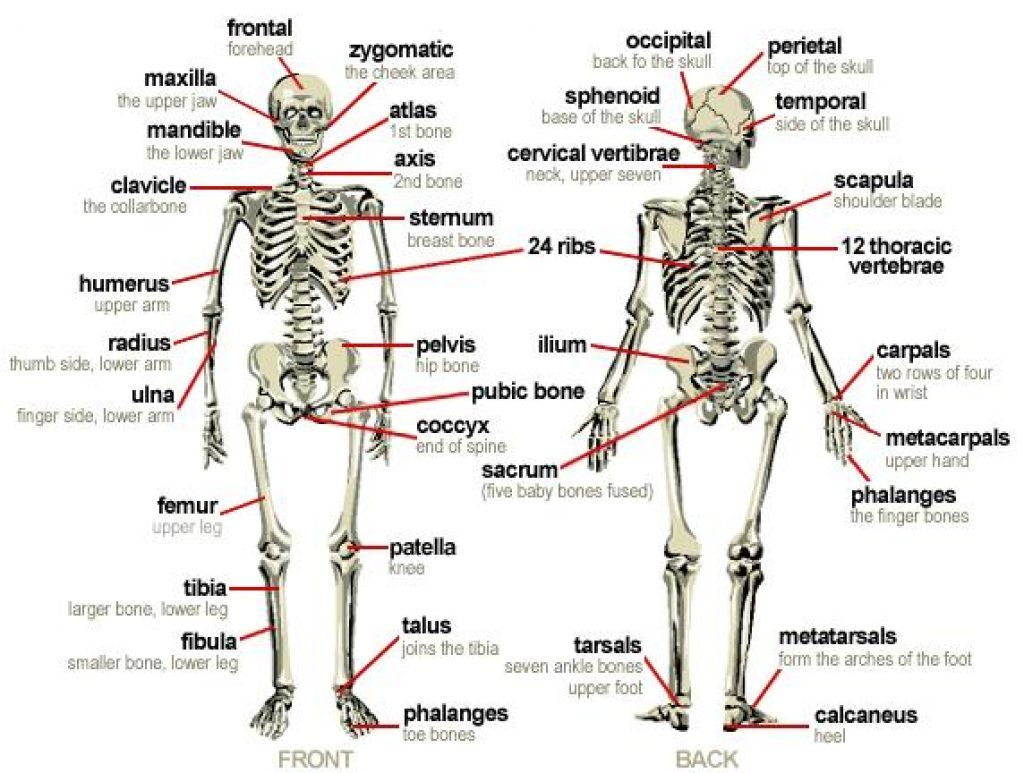 The Skeletal System Diagram Labeled With Images