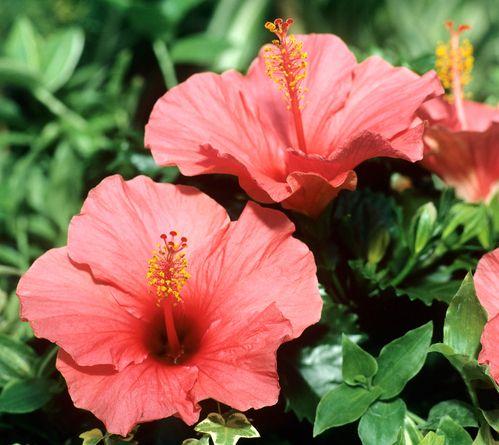 Fiche plante : Hibiscus | Hibiscus, Jardinage et Plantes