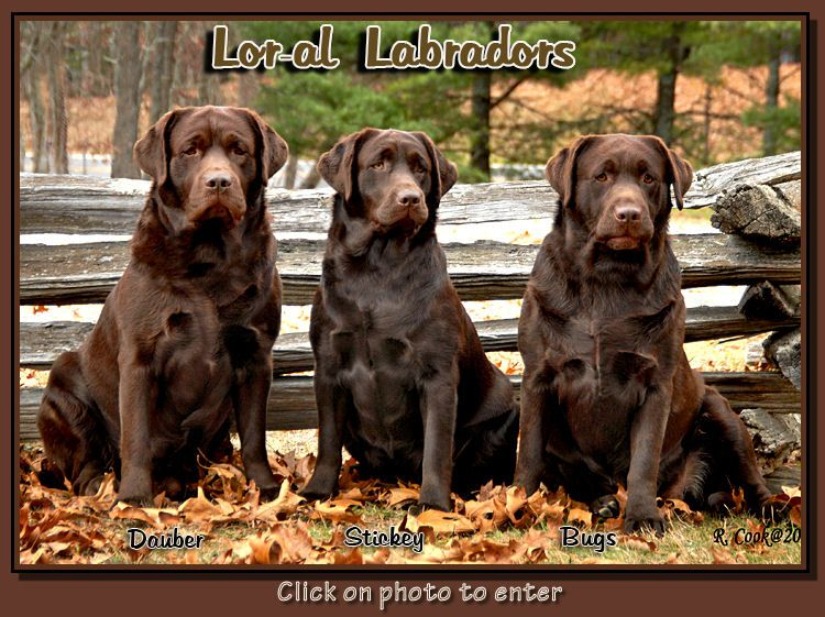 Lor Al Labradors Labrador Labrador Breeders Labrador Retriever