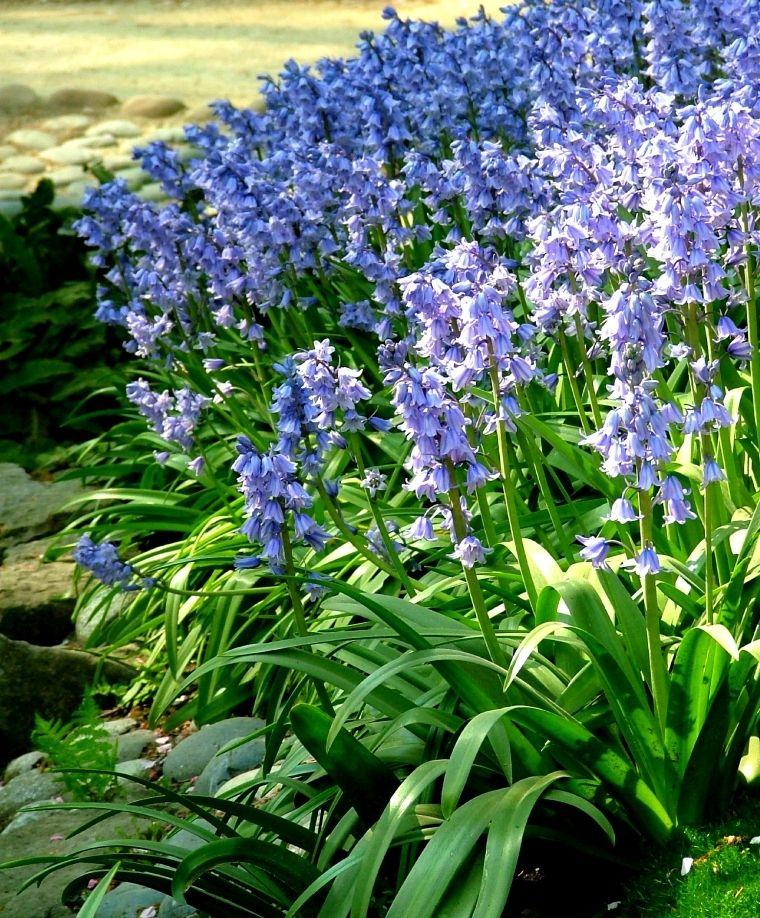 Avez-vous ça des Hyacinthoides hispanica ? 0ba6582625bcfc6ce54aad548a4b2551