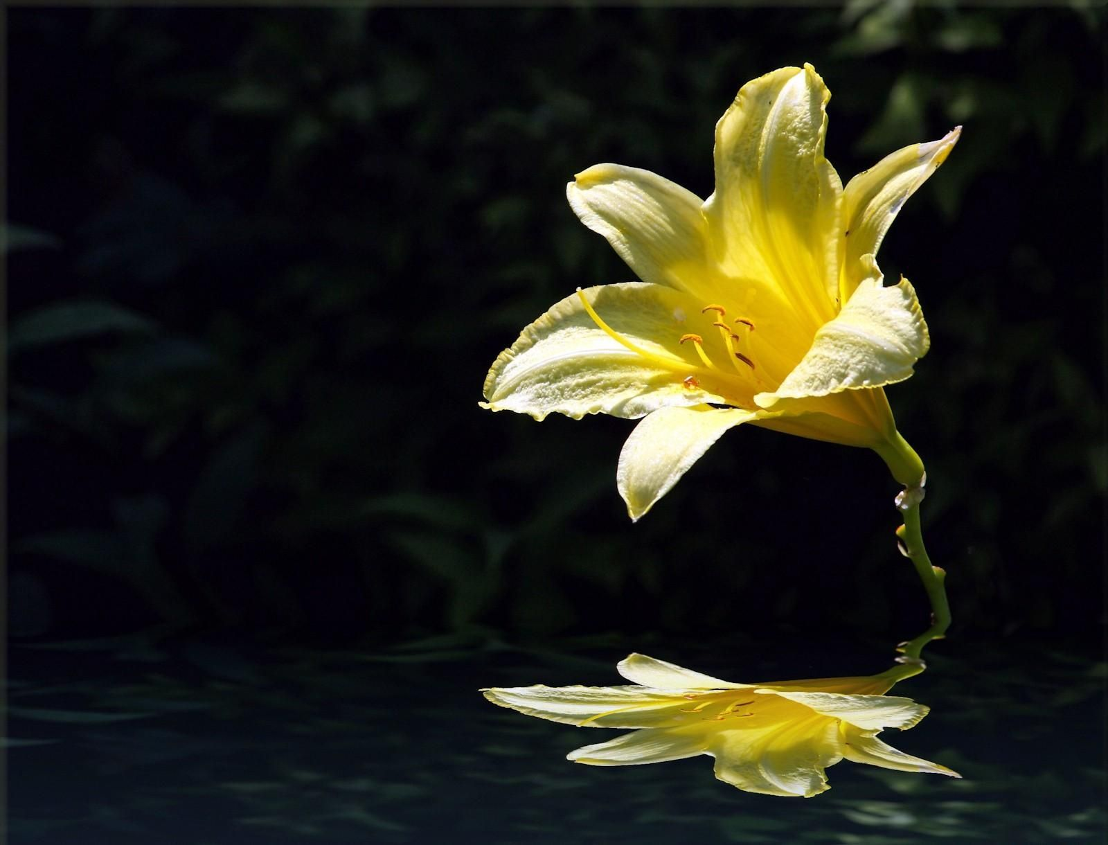 1600x1220 Wallpaper lily flower yellow bud water reflection