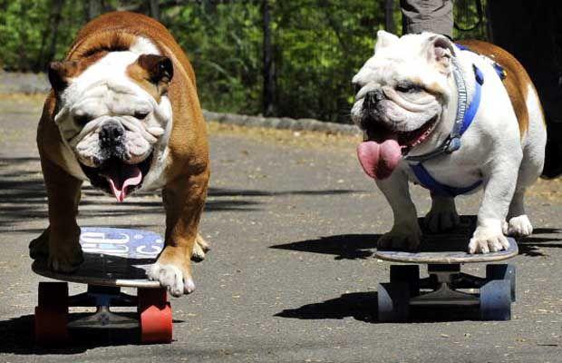 Skateboarding Bulldog Stock Photo | Getty Images
