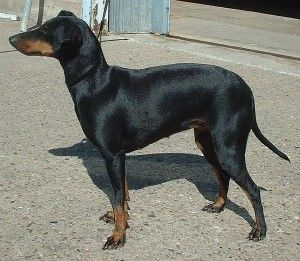 List Of Dogs That Don T Shed Much With Pictures Manchester Terrier Terrier Dog Breeds Dog Breeds